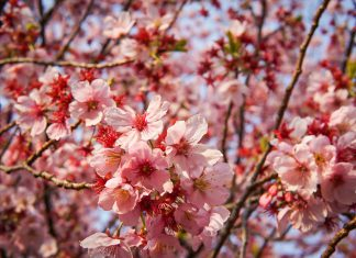 japan-körsbärsblomning-tokyo-kyoto-sakura
