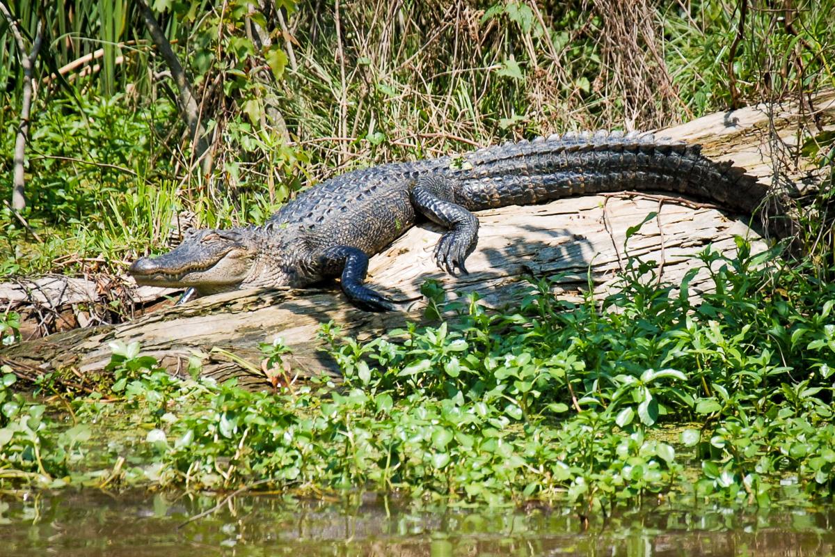 Krokodil - Swamp - New Orleans
