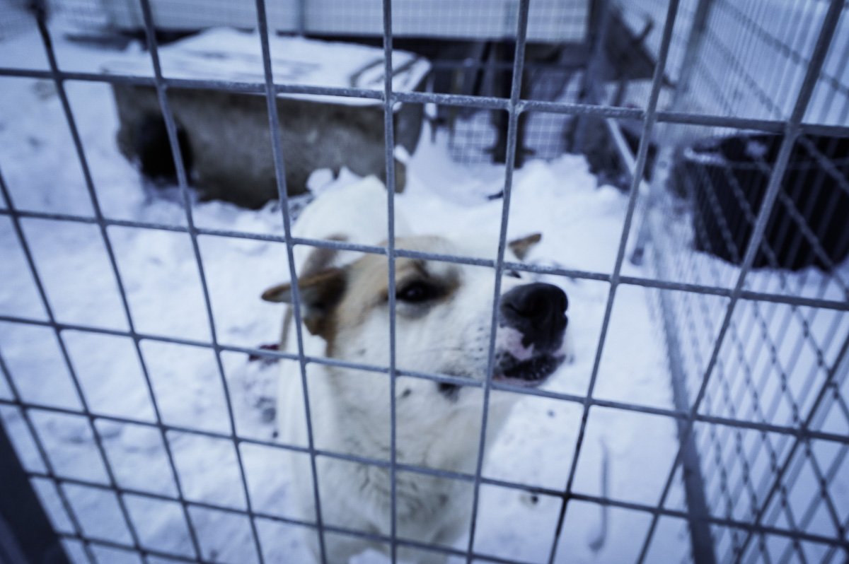 svalbard-hundspann