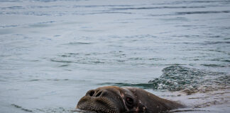 norge svalbard glaciarsafari val valross